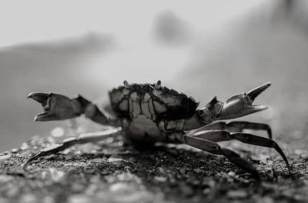 Conoce el cangrejo uno de los crustáceos más conocidos